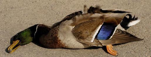 jr61052-dead-duck-fl